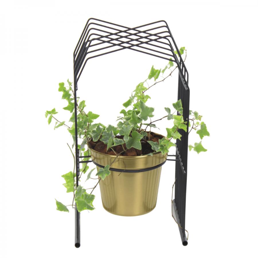 Hedera Plant