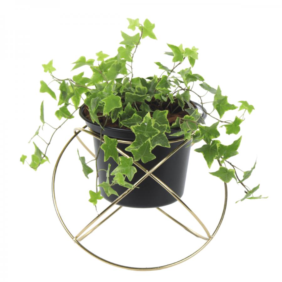 Hedera Plant #2