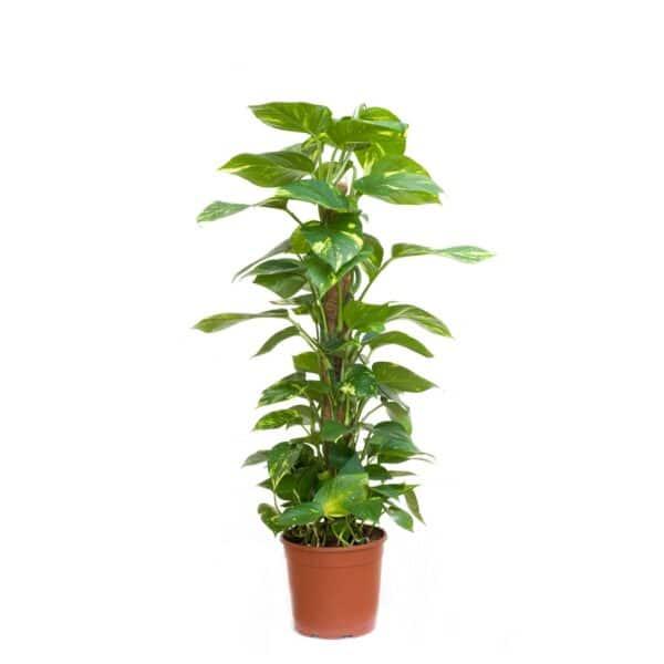 Scindapsus Plant #1