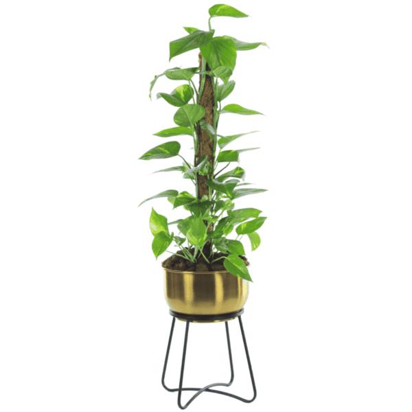 Scindapsus Plant #2